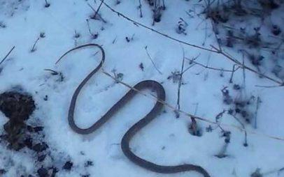 Μια οχιά μέσα στα χιόνια στην Καρυδίτσα Κοζάνης