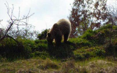 Δύο αρκούδες έκαναν βόλτες στα Γρεβενά (φωτογραφίες)