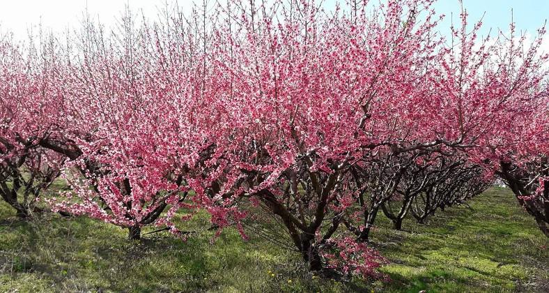 Υπέροχο ροζ από τις ανθισμένες ροδακινιές στον κάμπο του Βελβεντού