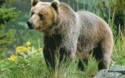Καστοριά-Βόλτες της αρκούδας στις Εργατικές Κατοικίες!
