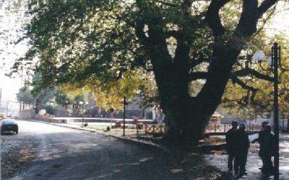 Διατηρητέο μνημείο της φύσης ο μέγας πλάτανος της Λευκοπηγής