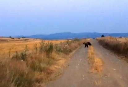 Καστοριά – Σήμερα πρωί πρωί: Πήγε βόλτα και έπεσε πάνω σε αρκούδες (βίντεο)