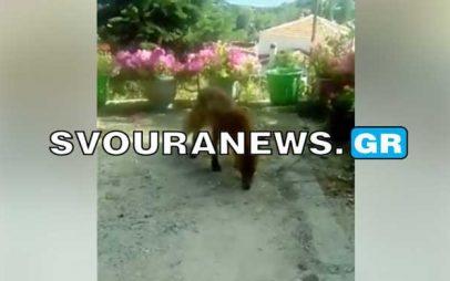 Καστοριά – Αλεπουδίτσα βρήκε καταφύγιο σε αυλή σπιτιού στο Κεφαλάρι (Βίντεο)