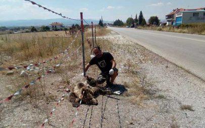 Θανατηφόρο τροχαίο ατύχημα με θύμα αρκούδα στην Μεσοποταμία