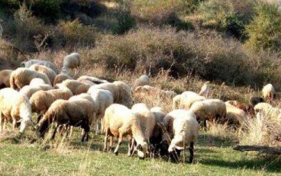 Εκδόθηκαν οι καταστάσεις των δικαιούχων της δράσης 3.1 «Διατήρηση απειλούμενων αυτοχθόνων φύλων αγροτικών ζώων»