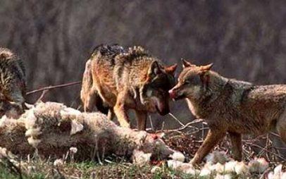 Καστοριά– Επίθεση Λύκων στην Ιεροπηγή