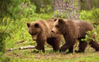 Εντοπίστηκαν δυο νεαρά αρκουδάκια στο Φράγμα της Τριανταφυλλιάς Φλώρινας