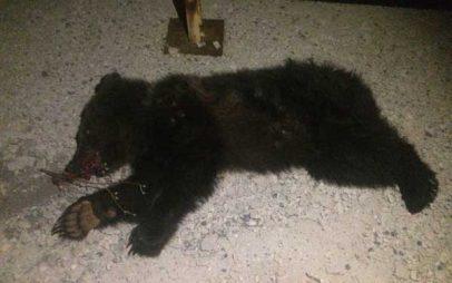 Τρίτο θανατηφόρο τροχαίο σε τρεις μήνες με θύμα αρκουδάκι στην περιοχή Κλειδί Αμυνταίου