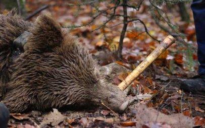 Γρεβενά: Επιχείρηση απεγκλωβισμού αρκούδας από παράνομη παγίδα για αγριογούρουνα