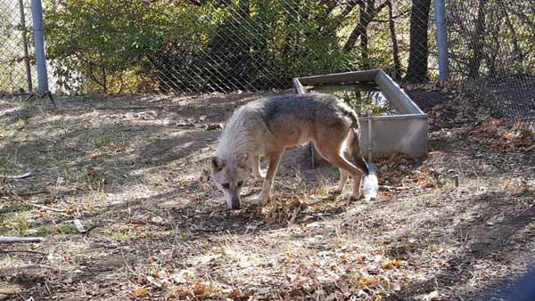 Δύο πρώην αιχμάλωτοι λύκοι ήρθαν στον ΑΡΚΤΟΥΡΟ