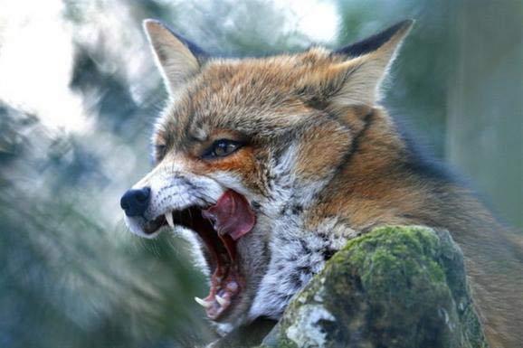 Αποτέλεσμα εικόνας για λύσσα