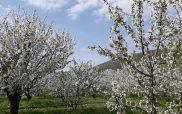 Η φωτογραφία της ημέρας: Ανθισμένες κερασιές στην Αριδαία!!