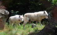 Μία αγέλη έξι λύκων από την Ιταλία στο Καταφύγιο του ΑΡΚΤΟΥΡΟΥ