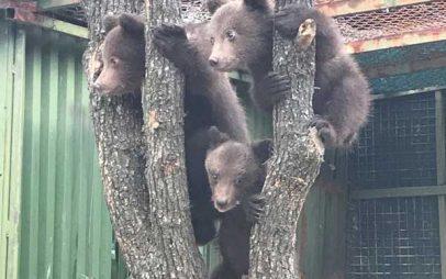 Ο Αρκτούρος φροντίζει και θα επανεντάξει στη Βουλγαρία τρία ορφανά αρκουδάκια