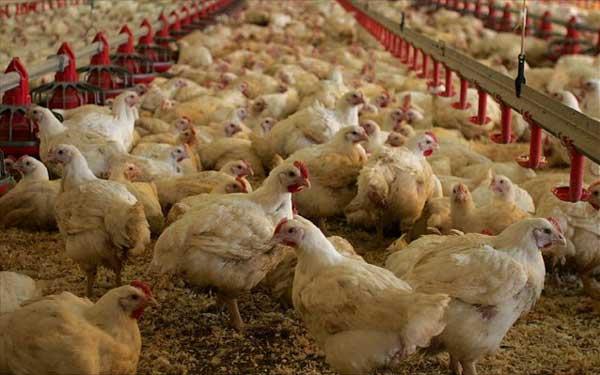 ΥπΑΑΤ: Και οι πτηνοτροφικές μονάδες εντάσσονται στον Αναπτυξιακό με τροποποιητική ΚΥΑ