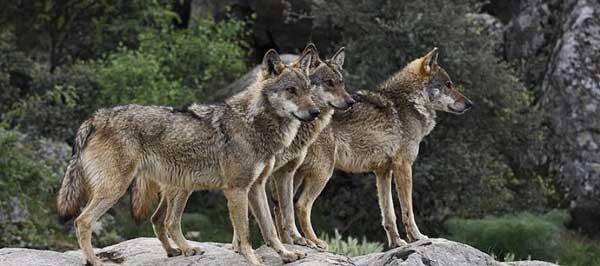 16 κρούσματα λύκων στη Δυτική Μακεδονία μέσα σε ένα μήνα-Το δασαρχείο της Κοζάνης εντόπισε την αγέλη με τα πέντε λυκόπουλα
