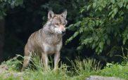 Κυνηγετικός Σύλλογος Εορδαίας: Φονικές επιθέσεις λύκων σε κυνηγόσκυλα