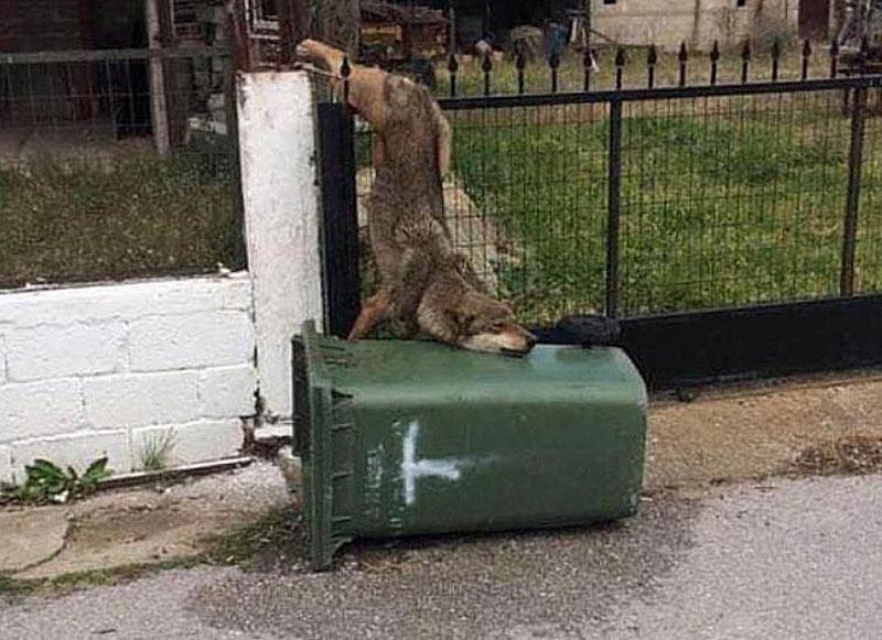 Ο Αρκτούρος ανέλαβε λύκο που βρέθηκε καρφωμένος σε κάγκελα σπιτιού στον Καστανά Θεσσαλονίκης