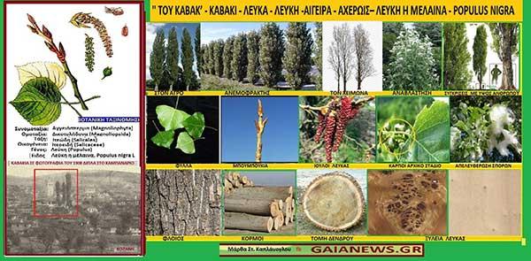 Φυτά από τους αγρούς και τις παλιές αυλές της Κοζάνης: «Του Καβακ», Καβάκι, Λεύκα