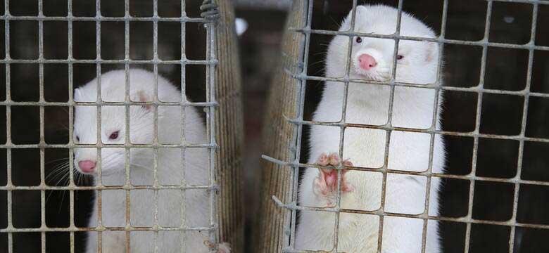 Επιχείρηση θανάτωσης 2.500 γουνοφόρων στο Καλονέρι Βοΐου- Δειγματοληψίες σε όλες στις φάρμες