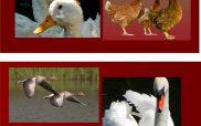 Εστίες γρίπης των πτηνών στην Ε. Ε.