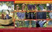 Ερυθρές οινοποιήσιμες ποικιλίες σταφυλιών-Β) Κόκκινα κρασιά: Οφέλη και προφυλάξεις στην κατανάλωση