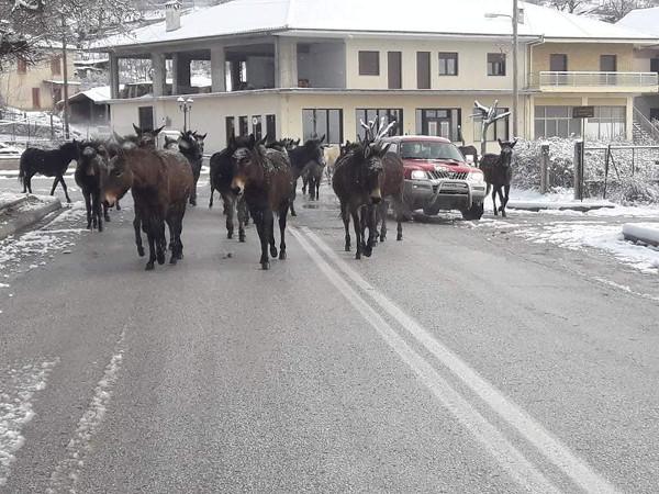 Σταμάτησε η χιονόπτωση και βγήκαν τα μουλάρια στο Κωσταράζι