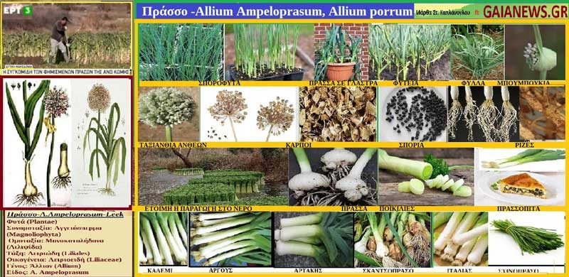 Πράσσο -Allium Ampeloprasum, Allium porrum-Φυτά από τους αγρούς και τις παλιές αυλές της Κοζάνης
