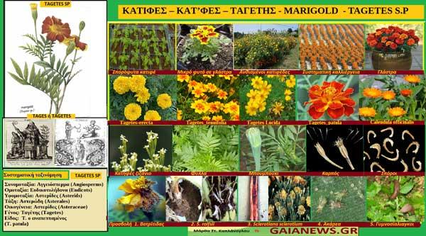 Κατιφές-Κατ'φες-Ταγέτης-Marigold-Tagetes S.P.