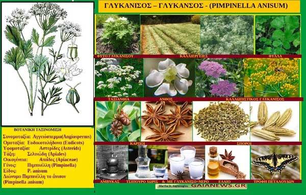 Γλυκάνισος-Γλυκάνσος-(Pimpinella Anisum)