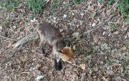 Καστοριά: Η τραυματισμένη αλεπού της γυρολιμνιάς (βίντεο)