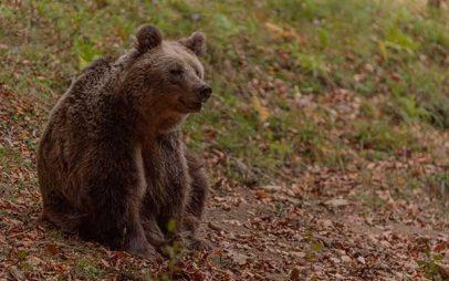 Αρκούδα κάνει βόλτα στη Σμίξη Γρεβενών