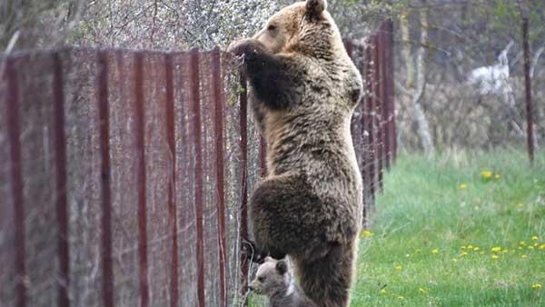 Καστοριά: Αρκούδα σκαρφαλώνει φράχτη μαζί με το μωρό της και «κλέβει» κεράσια!