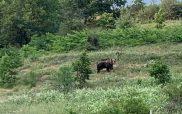 Αρκούδα σε αγρόκτημα στην Κορησό Καστοριάς