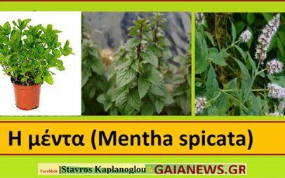 Μέντα -Μίνθη – Mentha – Μenta spicata & Υβρίδιο Μenta aquatica και Μenta spicata Ιατροφαρμακευτικές ιδιότητες- του Σταύρου Π. Καπλάνογλου