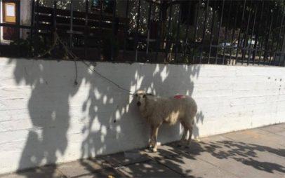 Θεσσαλονίκη: Άφησαν ένα πρόβατο δεμένο στα κάγκελα του Ιπποκρατείου