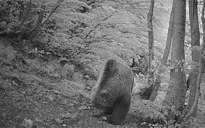 Ιστορίες από το πεδίο: Ένας τεράστιος ηλικιωμένος αρκούδος ψάχνει για… πρωινό