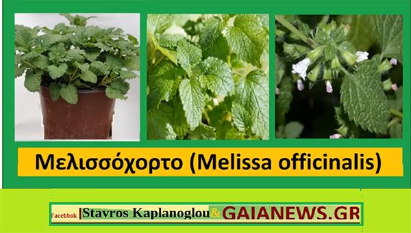 Μελισσόχορτο (Melissa officinalis)
