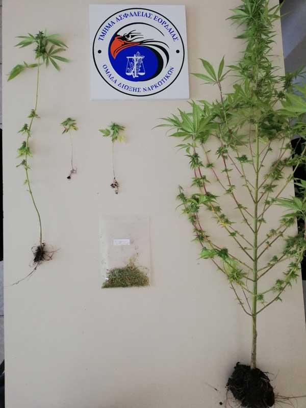 Συνελήφθη 52χρονος στην Πτολεμαΐδα για καλλιέργεια δενδρυλλίων κάνναβης