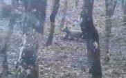 Επίθεση αρκούδας στον Αυγερινό Κοζάνης