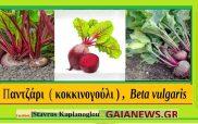 Παντζάρια (Κοκκινογούλια) – Beta vulgaris- Ιατροφαρμακευτικές ιδιότητες