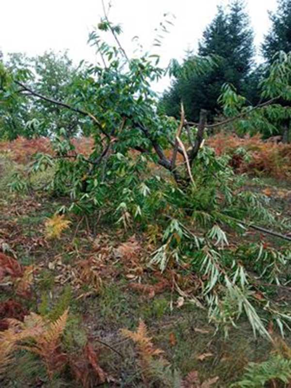 Καταστροφή από αρκούδες σε καστανιές στον Αυγερινό