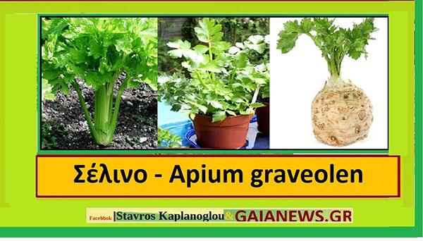 Το σέλινο ( Apium graveolens)